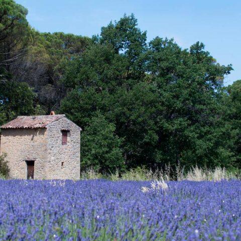 excursion lavande Aix en Provence